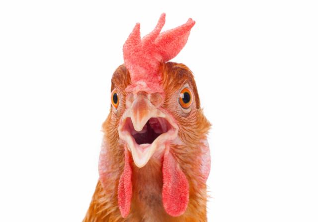 ChickenFocus